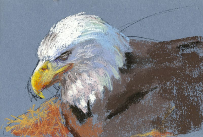 pastel drawing of a sleeping bald eagle