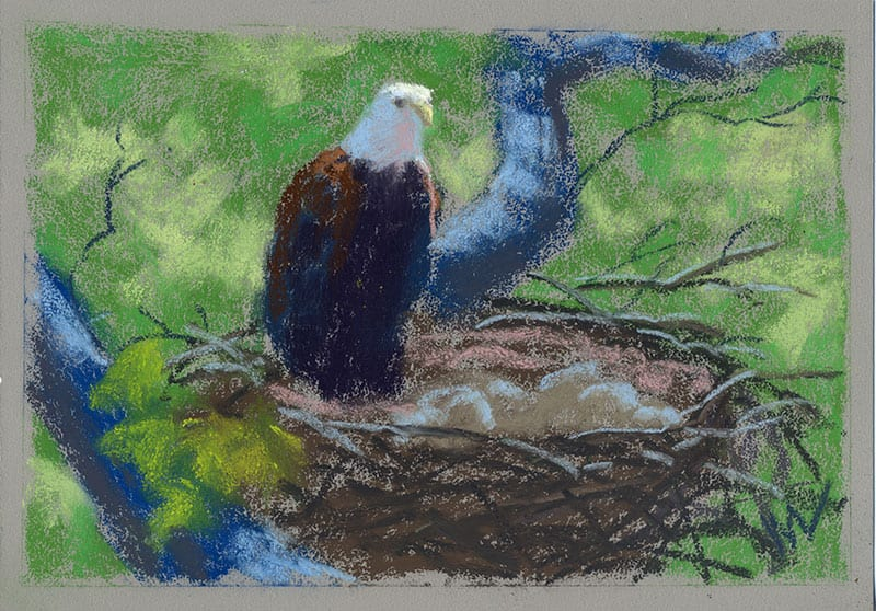 pastel of a bald eagle on a nest